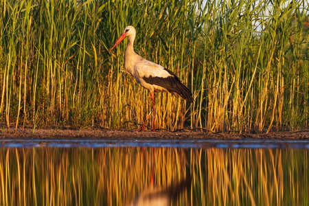 white stork at sunset stands at the waters edge