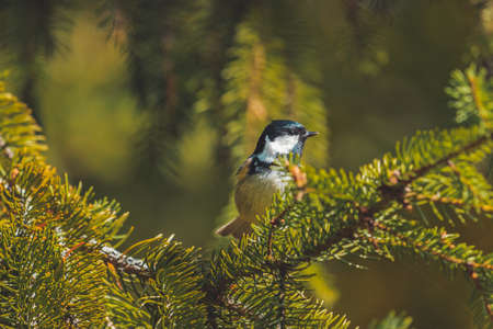 beautiful bird in the forest among the spruce needles