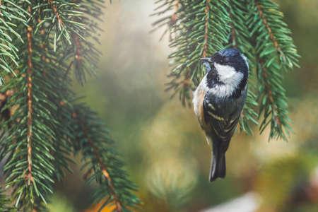 black titmouse hanging among spruce branches Standard-Bild - 157094134
