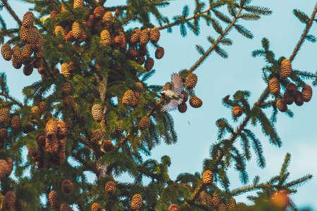 titmouse spread its wings flies among the fir cones Standard-Bild