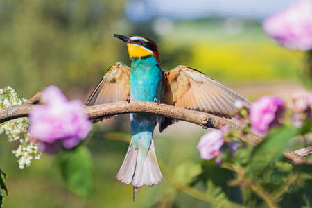 beautiful bird of paradise bee-eater spread its wings Standard-Bild - 157023903