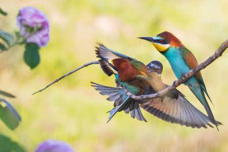 beautiful birds clash sitting on a branch