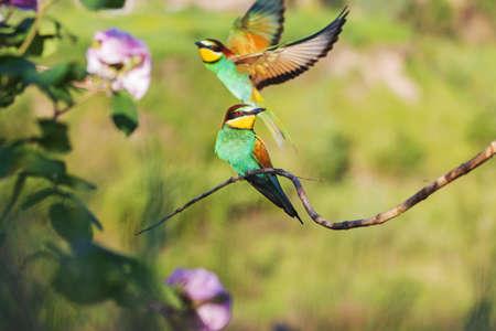 beautiful pair of birds of paradise