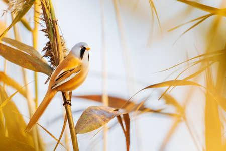 beautiful bird with black mustache in autumn landscape