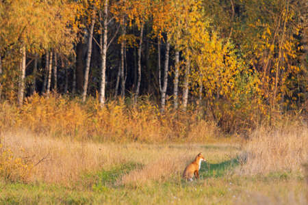 fox sits on the edge of the autumn forest