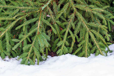 green branches of a christmas tree on white snow Standard-Bild