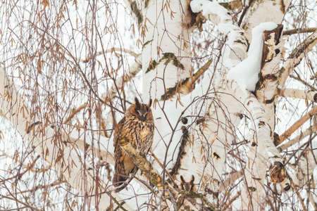 owl on a winter day sits on a birch