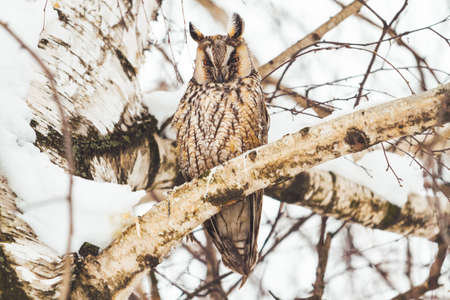 owl sitting on a birch branch on a winter day Standard-Bild