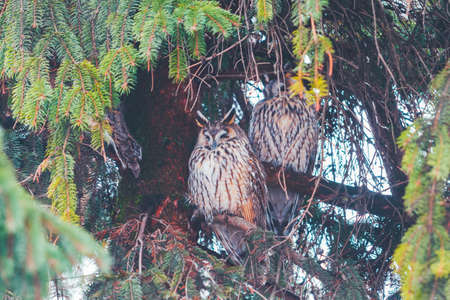 owls sleep among the dense branches of spruce