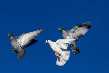 pigeons fly beautifully across the blue sky