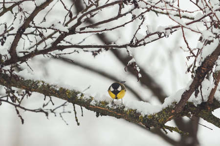titmouse with yellow feathers sits on a snowy branch
