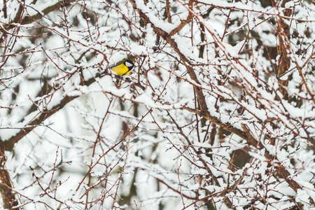 titmouse with yellow plumage among snow-covered branches
