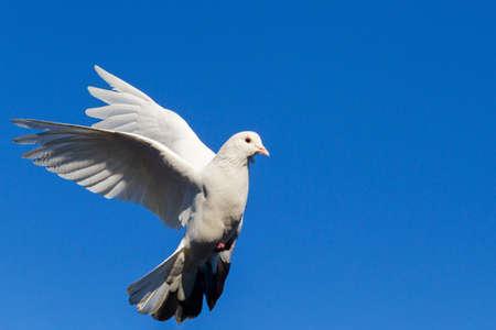 white dove flying on blue sky