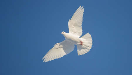 free white dove flies beautifully across the blue sky Stock fotó