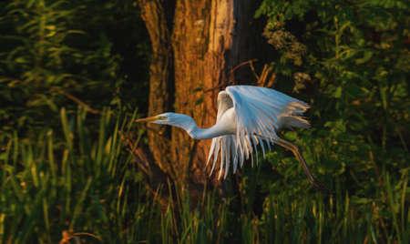 white heron flies among the spring greenery at dawn
