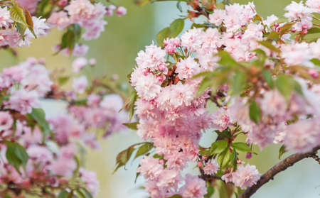 cherry blossoms spring beautiful background