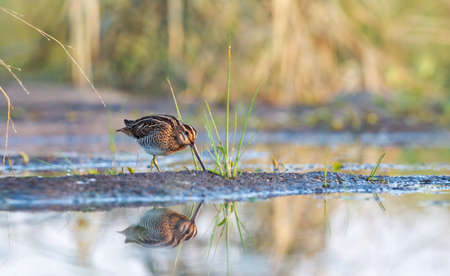 early morning snipe in the swamp