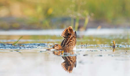 snipe bent down to the water before takeoff
