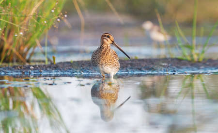 snipe stands proudly in the water in shallow water Reklamní fotografie