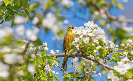yellow bird among blooming flowers on a tree Reklamní fotografie