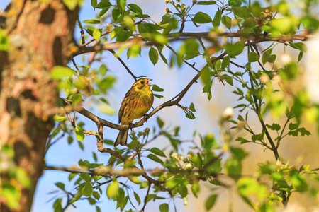 yellowhammer sings in the spring garden Reklamní fotografie