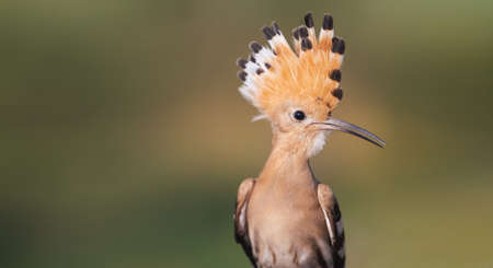 beautiful rare bird with a tuft Reklamní fotografie