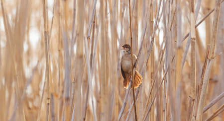 bird on the reed sings the spring song Reklamní fotografie