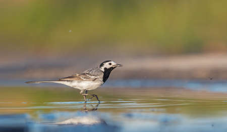 white wagtail walking on water with reflection