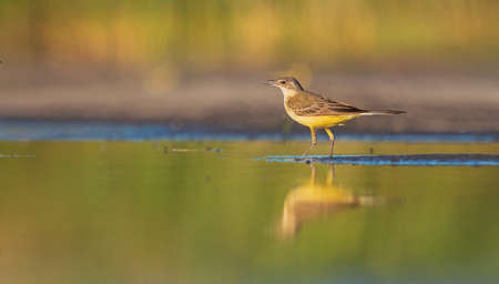 yellow wagtail standing in water with reflection Reklamní fotografie
