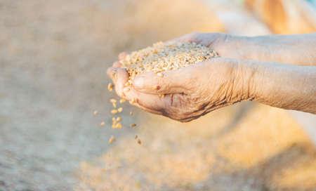 grandmothers hands sift ripe wheat Reklamní fotografie