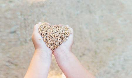 little girls hands hold grain