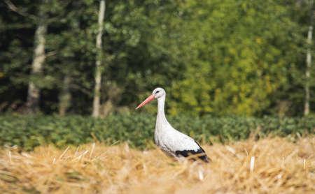 stork stands among the wheat field Reklamní fotografie