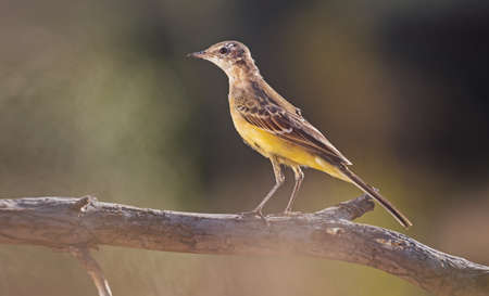 yellow wagtail sitting on a branch at sunset