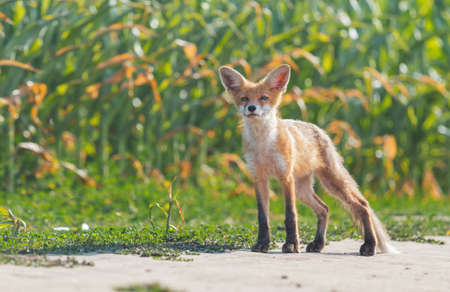 fox stands and sniffs the wind