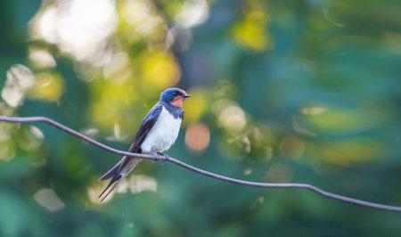 beautiful bird swallow sitting on a wire Reklamní fotografie