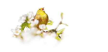 bird sings among flowering isolated on white Reklamní fotografie