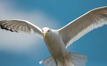 seagull flies and looks out for prey