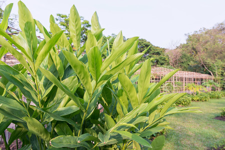 galangal: Galangal leaf and garden background, Thailand Stock Photo
