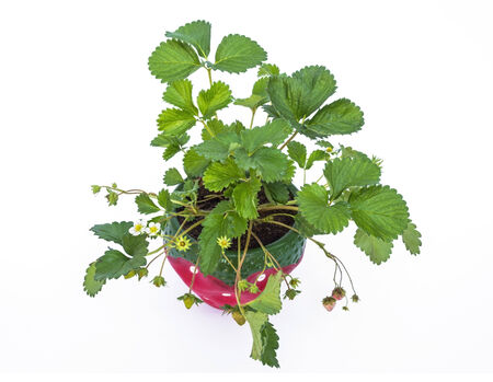 Potted strawberries isolated on white background from top view  photo