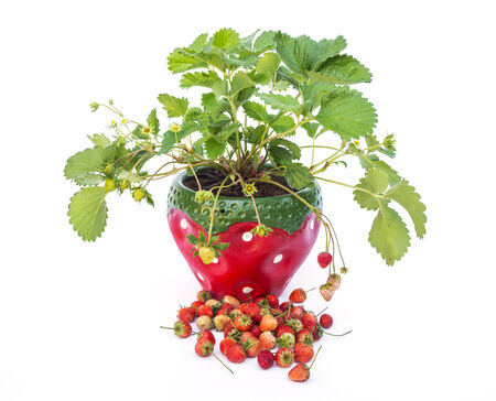 Potted strawberries photo
