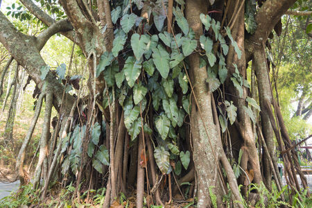 Tropical Tree with Parasites  photo
