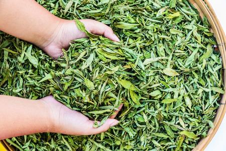 Dried Stevia Rebaudiana Bertoni - Natural sweetener leaf sugar substitute.