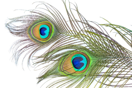 birds eye: Peacock feathers on white background
