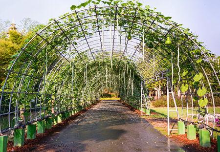 cylindrica: Snake gourd hanging on vine ,Luffa Cylindrica.