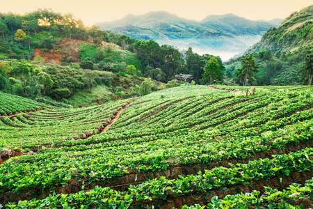 agriculturalist: Strawberry garden in morning at Doi Ang Khang , Chiang Mai, Thailand