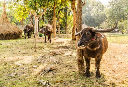 Thai Buffalo in rural,Thailand. photo