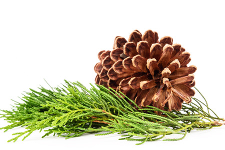 Pine tree branch with cones isolated on white background.