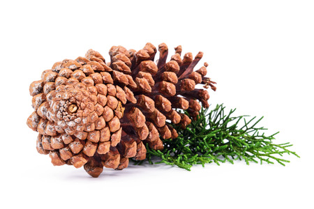 pine tree branch: Pine tree branch with cones isolated on white background.