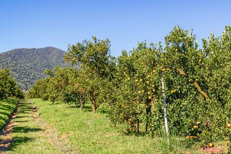 Oranje boom in boomgaard.