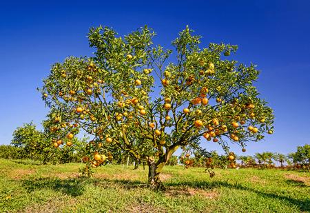 Orange tree in orchard. Stock Photo - 34982516
